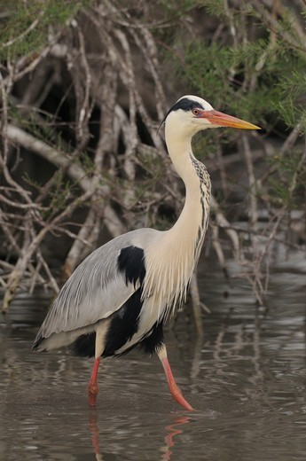 Grey Heron  Ardea Cinerea  Photographed In The Camargue, France : Stock Photo