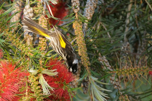 New Holland Honeyeater  Phylidonyris Novaehollandiae  Photographed In Tasmania, Australia : Stock Photo