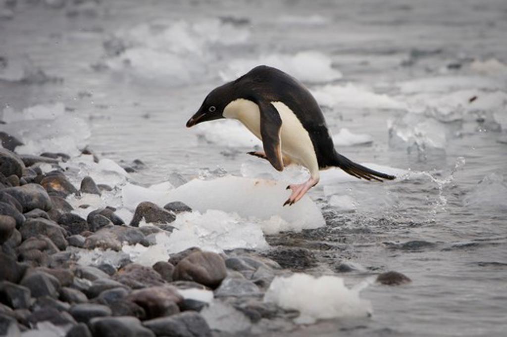 Stock Photo: 4141-5286 adelie penguin coming ashore on rocky beach; antarctica