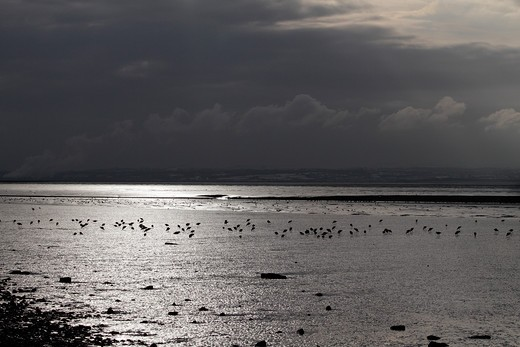 Stock Photo: 4141-52962 Black-Tailed Godwits (Limosa Limosa) Feeding On Mudflats Against Reflected Sun, Dee Estuary With Welsh Coast In Background, December 2010