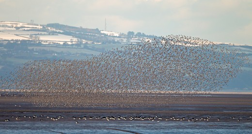Knot (Calidris Canutus) Flock In Flight Over Dee Estuary With The North Wales Coast And Hills In Background, Uk, December 2010  9907 : Stock Photo