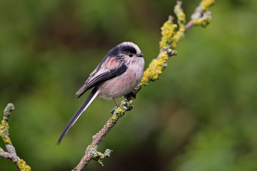 Stock Photo: 4141-53053 Long-Tailed Tit (Aegithalos Caudatus) Perched In Garden Cheshire Uk January  4985
