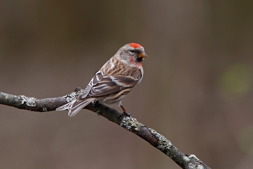 Male Lesser Redpoll (Carduelis Flammea Cabaret) Perched In Woodland North Wales Uk April : Stock Photo