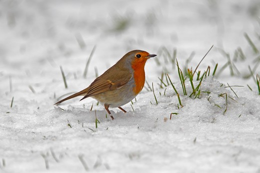 Stock Photo: 4141-53085 Robin (Erithacus Rubecula) In Snow In Garden Cheshire Uk December  4723
