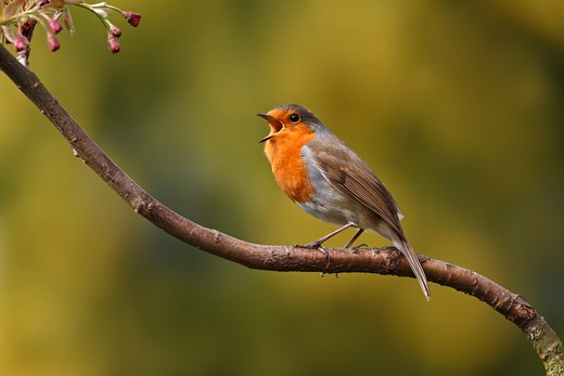 Stock Photo: 4141-53087 Robin (Erithacus Rubecula) Singing In Tree In Garden Cheshire Uk April  9662
