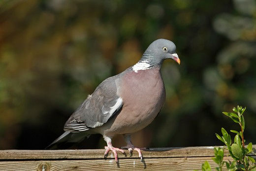 Stock Photo: 4141-53133 Woodpigeon (Columba Palumbus) Perched On Garden Fence Cheshire Uk April