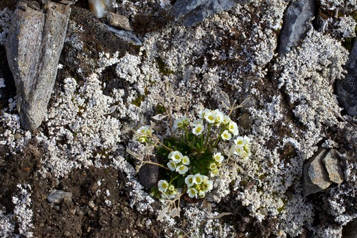 Lapland Whitlow-Grass, Draba Lactea, Spitzbergen, Svalbard, Arctic Norway, Europe : Stock Photo