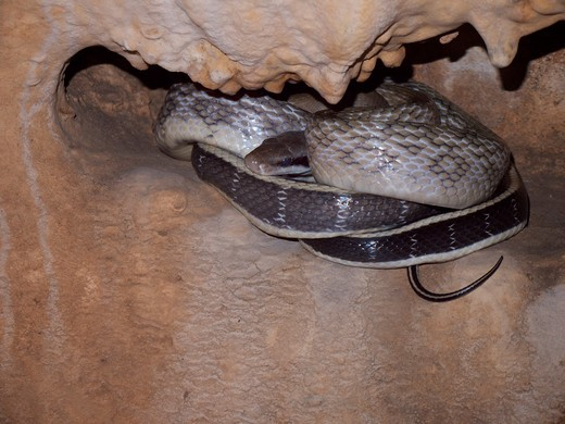 The Cave Dwelling Snake Or Cave Racer Inhabits Limestone Caves Of Thailand. It Is Considered A Specialised Subspecies Of The More Widespread Orthriophis Taeniurus. : Stock Photo
