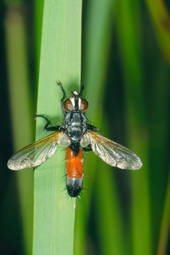 Stock Photo: 4141-53437 Tachinid Fly, Cylindromyia Sp. On Leaf