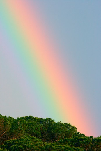 Rainbow Over Pine Trees : Stock Photo