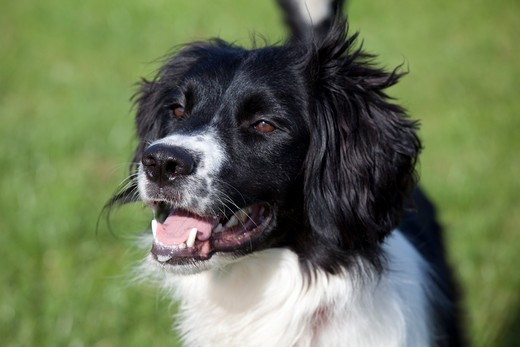 Stock Photo: 4141-53498 Collie Spaniel Cross Portrait Waterloo Kennels Stoke Orchard Cheltenham Uk