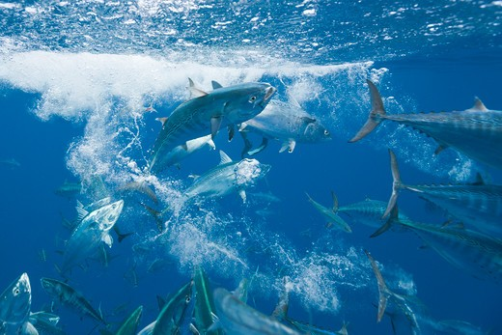 Bonitos Hunting Sardines, Sarda Sarda, Sardina Pilchardus, Isla Mujeres, Yucatan Peninsula, Caribbean Sea, Mexico : Stock Photo