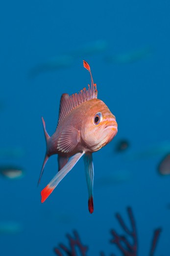 Stock Photo: 4141-53665 Mediterranean Anthias, Anthias Anthias, Pedra De Deu, Medes Islands, Costa Brava, Mediterranean Sea, Spain