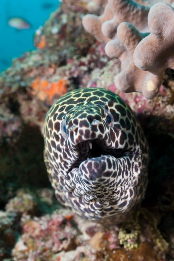 Stock Photo: 4141-53692 Honeycomb Moray, Gymnothorax Favagineus, Kandooma Caves, South Male Atoll, Maldives