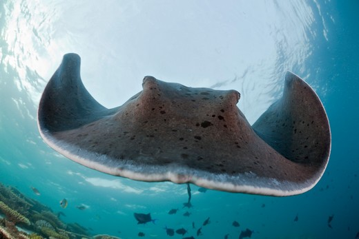 Stock Photo: 4141-53697 Blackspotted Stingray, Taeniura Meyeni, Ellaidhoo House Reef, North Ari Atoll, Maldives