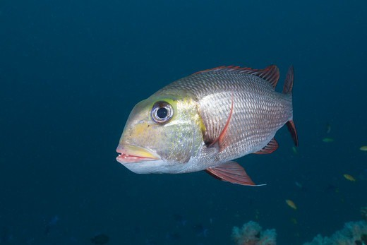 Stock Photo: 4141-53723 Bigeye Emperor, Monotaxis Grandoculis, Himendhoo Thila, North Ari Atoll, Maldives