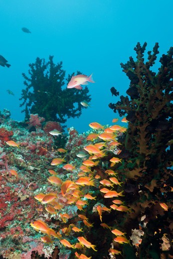 Stock Photo: 4141-53724 Coral Reef With Anthias, Pseudanthias Squamipinnis, North Ari Atoll, Maldives