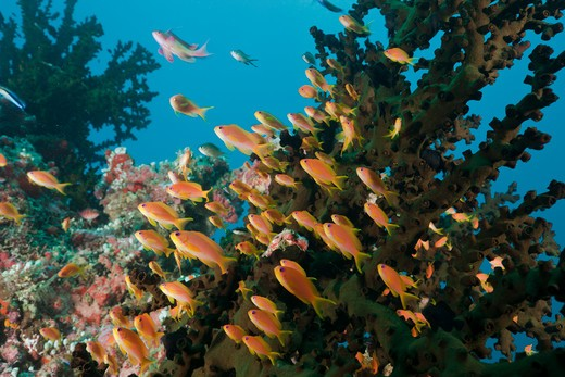 Coral Reef With Anthias, Pseudanthias Squamipinnis, North Ari Atoll, Maldives : Stock Photo