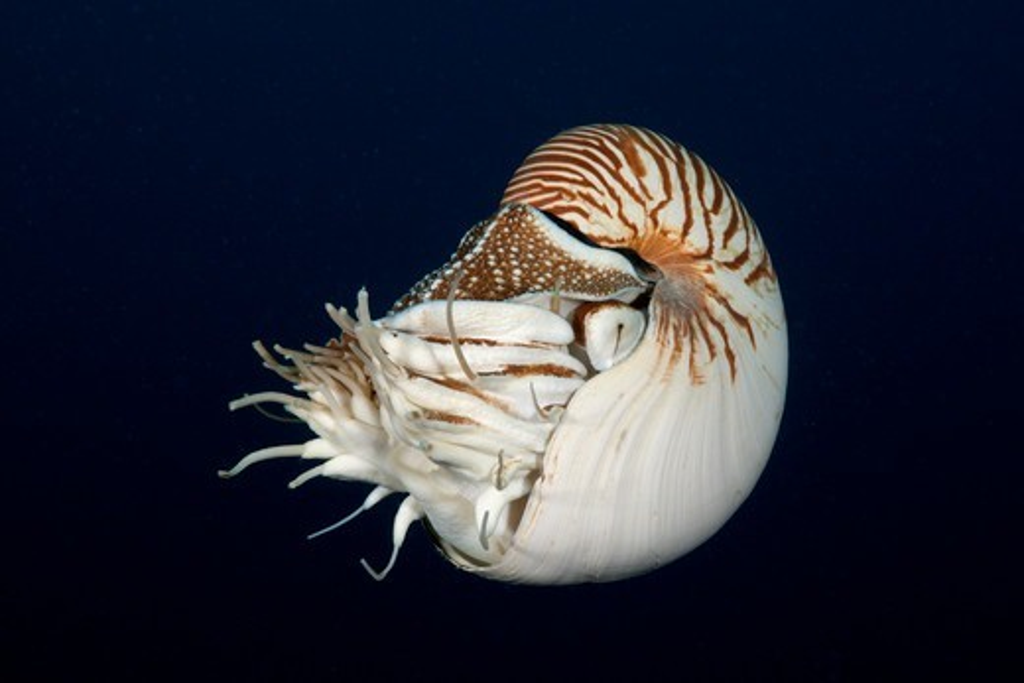 Chambered Nautilus, Nautilus Belauensis, Micronesia, Palau : Stock Photo