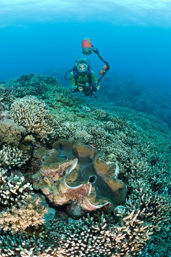 Diver And Giant Clam, Tridacna Squamosa, Micronesia, Palau : Stock Photo