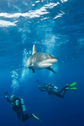 Oceanic Whitetip Shark, Carcharhinus Longimanus, Daedalus Reef, Red Sea, Egypt : Stock Photo