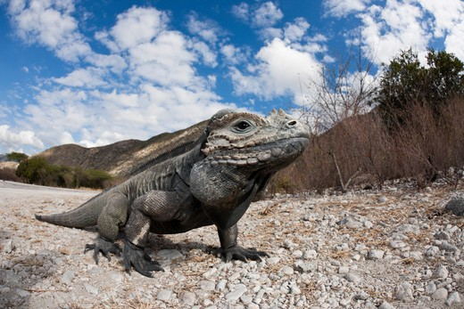 Stock Photo: 4141-54119 Rhinoceros Iguana, Cyclura Cornuta, Isla Cabritos National Park, Lago Enriquillo, Dominican Republic