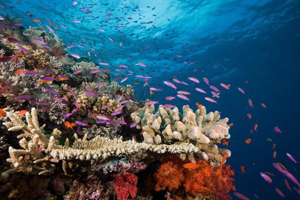 Stock Photo: 4141-54172 Slender Basslets In Coral Reef, Luzonichthys Whitleyi, Makogai, Lomaviti, Fiji