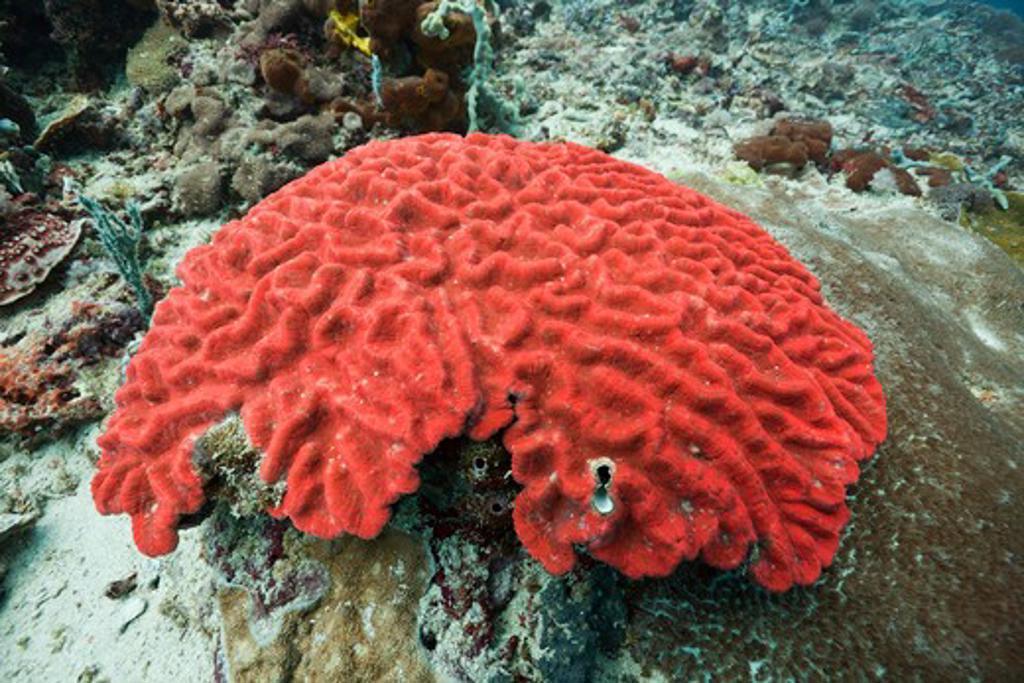 Fluorescent Hard Coral, Platygyra Sp., Alam Batu, Bali, Indonesia : Stock Photo
