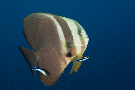 Stock Photo: 4141-54467 Longfin Batfish And Cleaner Wrasse, Platax Teira, Raja Ampat, West Papua, Indonesia
