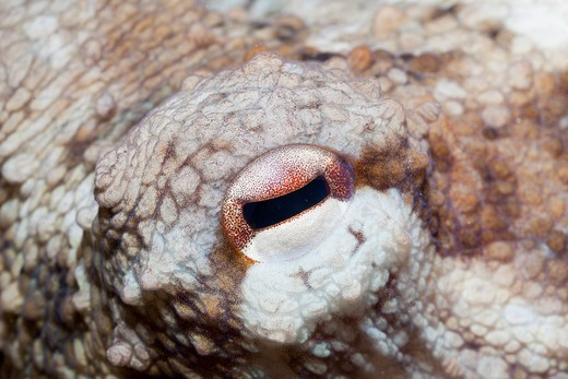 Stock Photo: 4141-54490 Octopus Eye, Octopus Vulgaris, Les Ferranelles, Medes Islands, Costa Brava, Mediterranean Sea, Spain