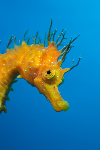 Stock Photo: 4141-54499 Yellow Longsnouted Seahorse, Hippocampus Ramulosus, Tamariu, Costa Brava, Mediterranean Sea, Spain