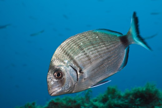 Stock Photo: 4141-54533 Striped White Bream, Diplodus Sp., Tamariu, Costa Brava, Mediterranean Sea, Spain