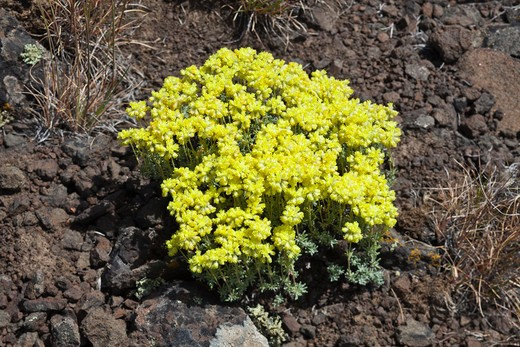 Stock Photo: 4141-54650 Thyme-Leaf Buckwheat (Eriogonum Thymoides) (Aka Thyme Buckwheat) Blooming In The Whiskey Dick Unit Of L. T. Murray Wildlife Area (Washington State Department Of Natural Resources), Whiskey Dick Mountain Near The Columbia River, Washington State, Usa, May