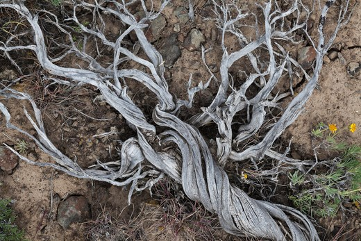 Stock Photo: 4141-54667 Dead Sagebrush Skeleton (Artemisia Sp.) In The Beezley Hills Preserve, A Nature Conservancy-Protected Area Preserving Shrub-Steppe Habitat On The Columbia Plateau, Washington State, Usa, May
