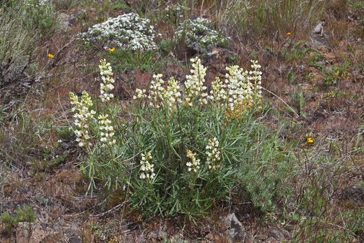 Stock Photo: 4141-54672 Sulphur Lupine (Lupinus Sulphureus)  Flowering In The Beezley Hills Preserve, A Nature Conservancy-Protected Area Preserving Shrub-Steppe Habitat On The Columbia Plateau, Washington State, Usa, May