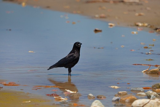 Stock Photo: 4141-54721 Northwestern Crow (Corvus Caurinus) Foraging In Willoughby Creek Along Shi Shi Beach, Olympic National Park, Washington State, Usa, June, Point_Of_Arches-402