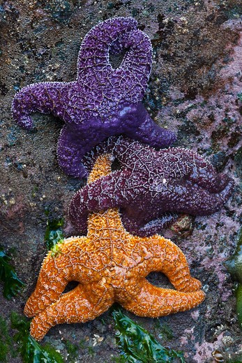 Stock Photo: 4141-54750 Orange And Purple Color Variants Of Ochre Sea Star (Pisaster Ochraceus) (Aka Purple Sea Star And Common Sea Star) On Rocks At  Low Tide, Point Of Arches, Olympic National Park, Washington State, Usa, June, Point_Of_Arches-205