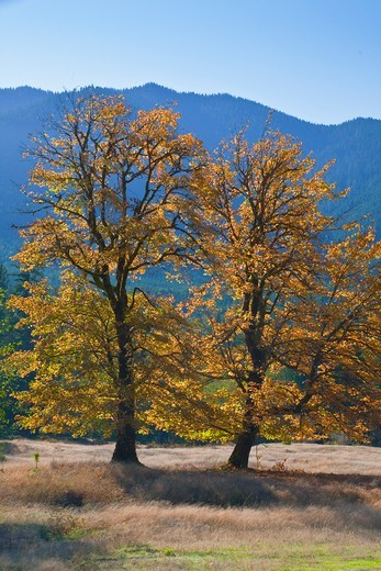 Stock Photo: 4141-54883 Bigleaf Maples (Acer Macrophyllum) In Autumn, In A Meadow On Private Land In The Dosewallips River Valley, Olympic Peninsula, Washington State, Usa