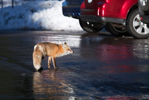 Red Fox (Vulpes Vulpes) Foraging For Human Food In The Longmire Area Of Mount Rainier National Park, Washington State, Usa : Stock Photo