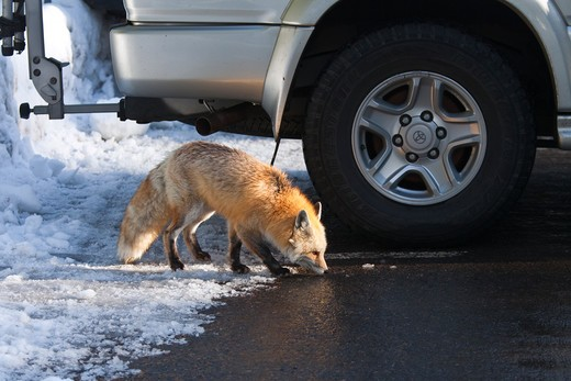 Stock Photo: 4141-54942 Red Fox (Vulpes Vulpes) Foraging For Human Food In The Longmire Area Of Mount Rainier National Park, Washington State, Usa