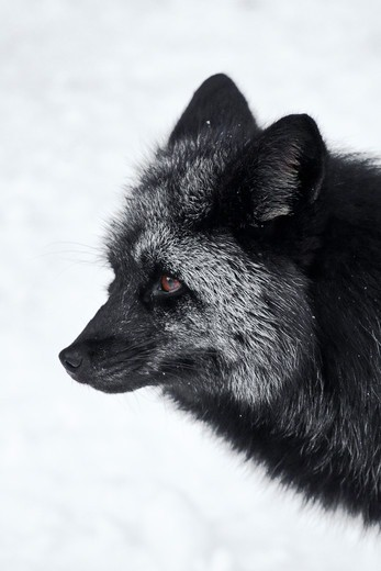 Silver Fox (Vulpes Vulpes), A Genetic Color Variant Of The Red Fox,  In The Longmire Area Of Mount Rainier National Park, Washington State, Usa : Stock Photo
