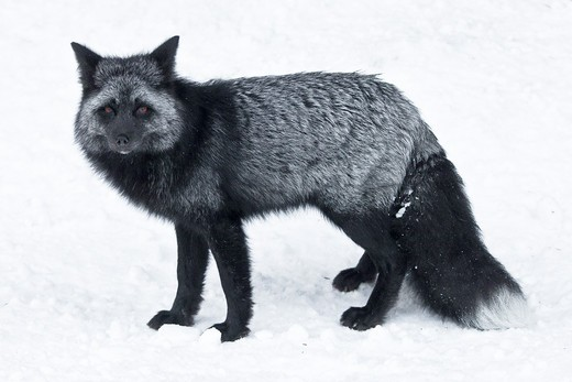Stock Photo: 4141-54950 Silver Fox (Vulpes Vulpes), A Genetic Color Variant Of The Red Fox,  In The Longmire Area Of Mount Rainier National Park, Washington State, Usa