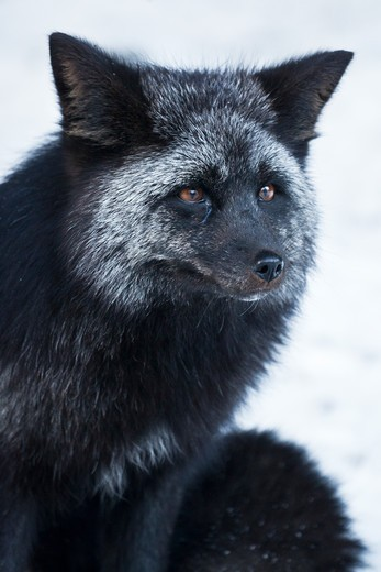 Stock Photo: 4141-54951 Silver Fox (Vulpes Vulpes), A Genetic Color Variant Of The Red Fox,  In The Longmire Area Of Mount Rainier National Park, Washington State, Usa