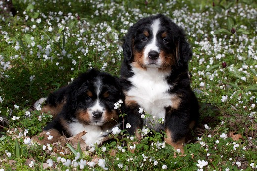 Stock Photo: 4141-54962 Two Bernese Mountain Dog Pups In Spring Wildflowers (Anemone And Prairie Trillium); Elburn, Illinois, Usa (Dm)