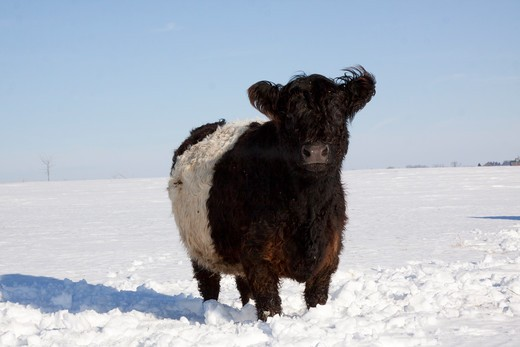 Stock Photo: 4141-54980 Belted Galloway(S) Standing In Snow-Covered Field, Mid Winter; Belvidere, Illinois, Usa