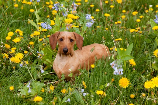 Stock Photo: 4141-54987 Summer-Shaved Long-Haired Dachshund In Virginia Bluebells And Dandelions; Rockton, Illinois, Usa (Aw)
