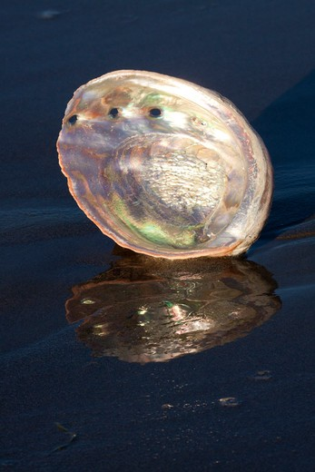 Red Abalone (Haliotis Rufescens) On Sandy Beach, Early A.M., Casting Reflection; Note Mother-Of-Pearl (Nacre) Finish Inside Shell; Red Abalone Is Largest Of California Marine Snails And Is A Gastropod (Univalve); Santa Barbara, California, Usa : Stock Photo