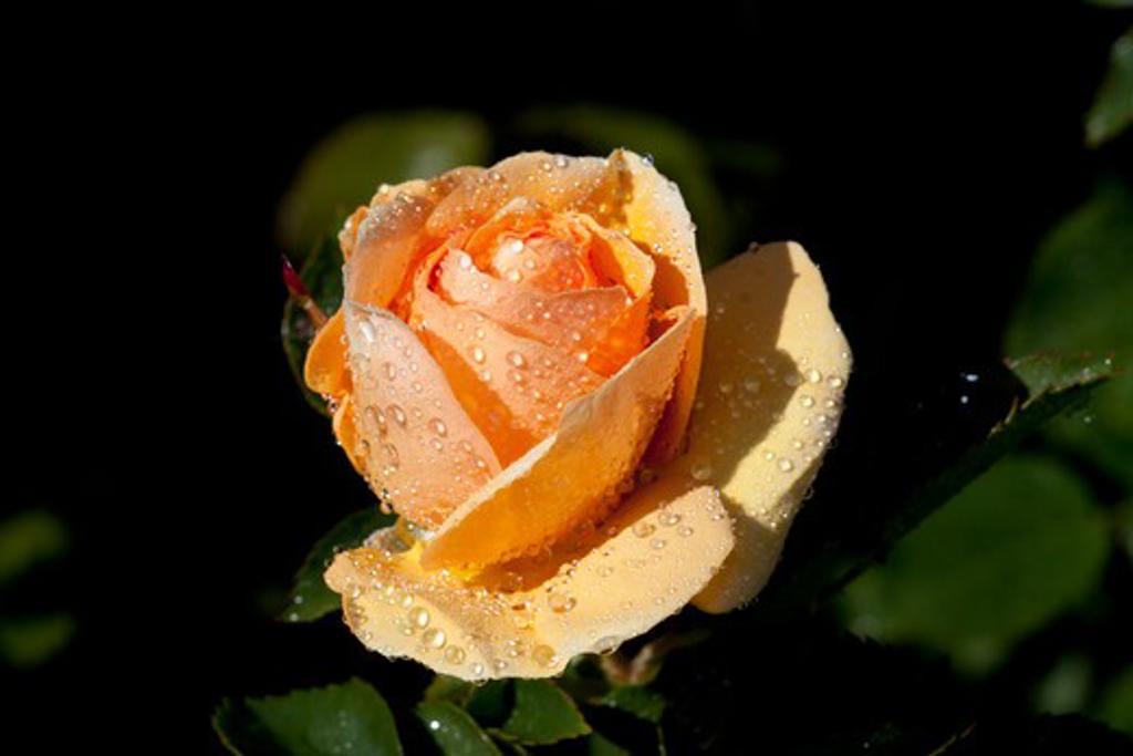 Stock Photo: 4141-55025 Tea Rose In Bloom; Santa Barbara, California, Usa