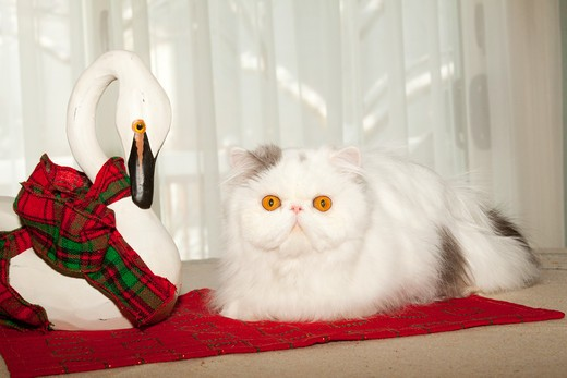 Stock Photo: 4141-55124 Persian Cat, Gray And White, On Table With Swan Ornament; Naperville, Illinois, Usa