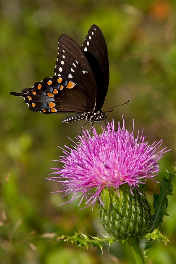 Stock Photo: 4141-55294 Spicebush Swallowtail Butterfly (Papilio Troilus) Nectaring On Thistle Plant; Unposed, Wild, & Free; Durham, Connecticut, Usa